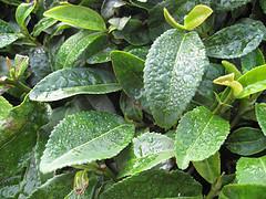 Beneficios del té verde para adelgazar :: Propiedades y..