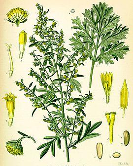 Propiedades medicinales del ajenjo para adelgazar