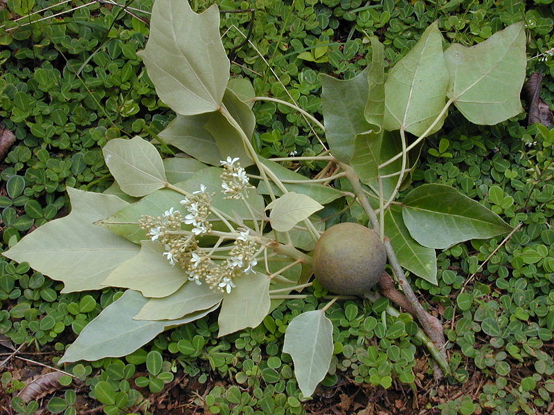 Semillas de nuez de la india para adelgazar propiedades Semilla de brasil es toxica