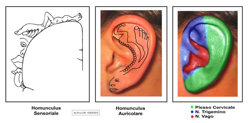 Imanes para bajar de peso en el oido humano