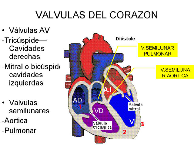 640px-Corazón_-_Válvulas_-_001
