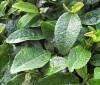 Té verde para perder peso e hipertensión