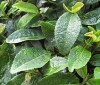 ¿Es efectivo tomar té para combatir la celulitis?