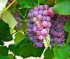 Propiedades antioxidantes de la uva
