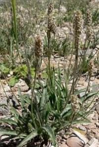 Propiedades de las semillas de ispaghula