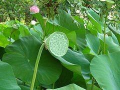 hojas de loto