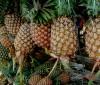 Contraindicaciones de la piña y el pepino para perder peso