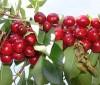 Dieta depurativa de la cereza