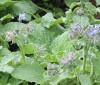 La borraja, un vegetal que quita el hambre