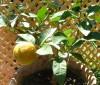 Propiedades de la naranja amarga para adelgazar