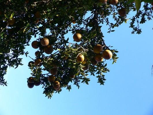 naranja amarga 2