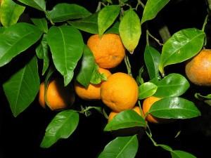 640px-Laranxas_naranjas_GFDL096