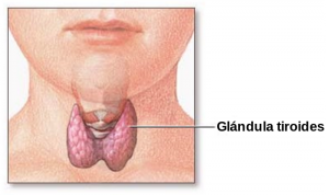 Thyroid_gland-es.svg