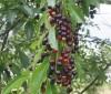 Consume cerezas negras para perder kilos rápidamente
