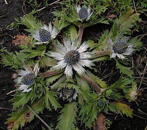 hierba del sapo 300x266