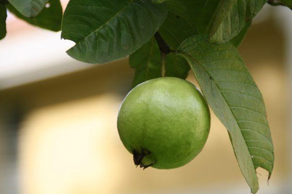 Cómo preparar las hojas de guayaba para adelgazar