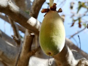 Fruto de baobab