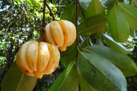 garcinia-cambogia-342760_960_720