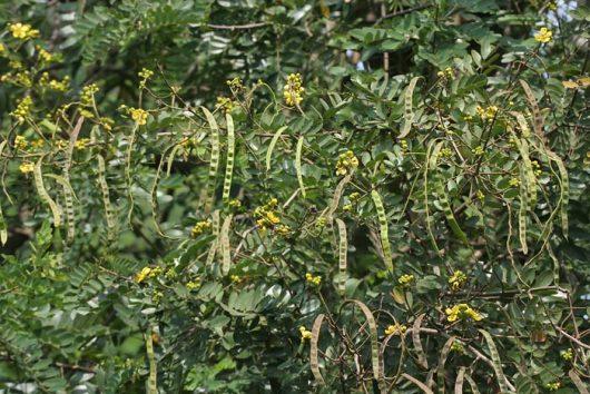 hojas de sen